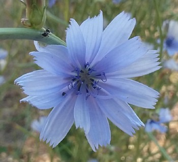 Wildflowers-chicory closeup 800x707