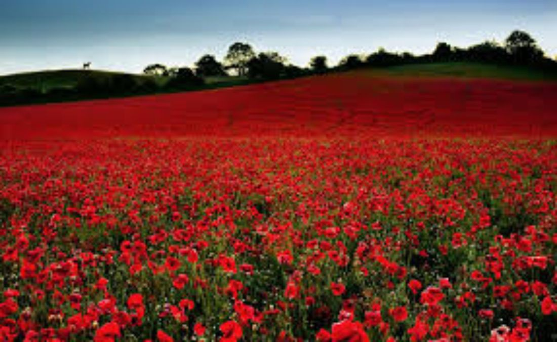 Poppies Blog